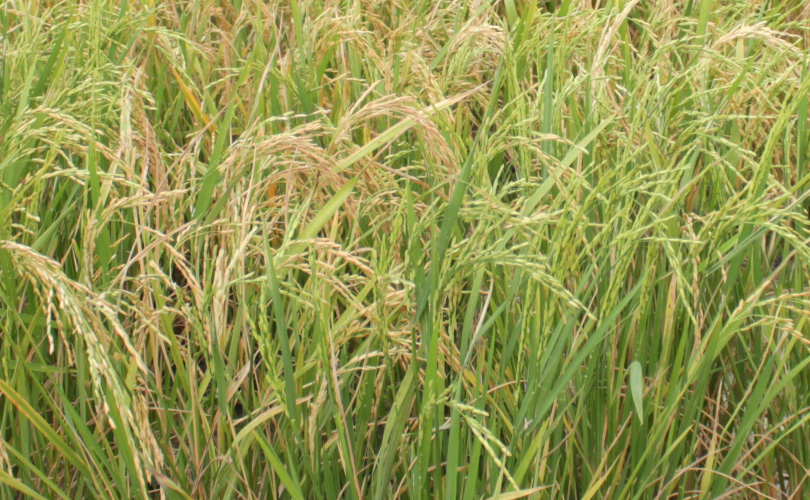 bihar growing During kharif , mungbean is generally grown as intercrop, and in the recent years ,  the acreage under rapeseed-mustard in bihar did not vary much during last.